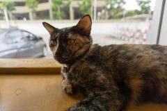 Chat thaïlandais avec les yeux effrayants Photographie stock libre de droits