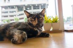 Chat thaïlandais avec les yeux effrayants Images stock