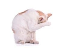 Chat thaïlandais d'isolement sur le fond blanc Photos stock