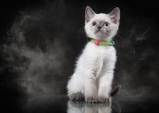 Chat thaïlandais en brouillard sur le fond noir Photo libre de droits