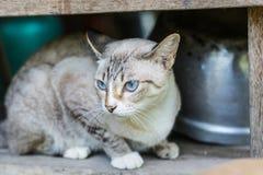 Chat thaïlandais en regardant l'action Photographie stock