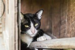 Chat thaïlandais en regardant l'action Images libres de droits