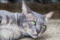 Chat thaïlandais en Thaïlande Photo stock