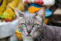 Chat thaïlandais en Thaïlande Image stock