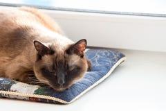 Chat thaïlandais faisant une sieste sur un oreiller image stock