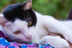 Chat thaïlandais noir et blanc avec l'oeil jaune Images stock