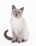 Chat thaïlandais sur le fond blanc Images stock