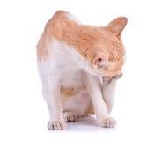 Chat thaïlandais sur le fond blanc Image stock
