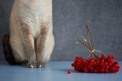 Chat thaïlandais sur un fond gris et des baies rouges Photo libre de droits