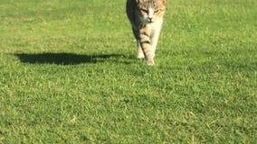 Chat tigré à l'arrière-plan d'herbe verte banque de vidéos