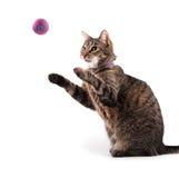 Chat tigré de Brown attrapant un jouet Photographie stock libre de droits