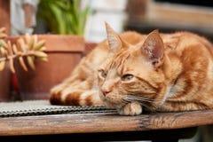 Chat tigré de gingembre rouge se reposant dehors sur une table en bois photos libres de droits
