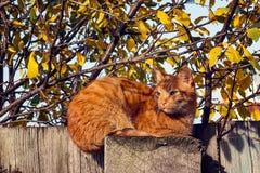 Chat tigré de gingembre se reposant sur une barrière sur un fond de l'automne FO Photo libre de droits