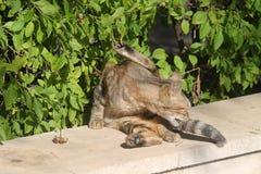 Chat tigré devant les feuilles vertes image libre de droits