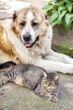 Chat tigré et berger asiatique central de chien d'Alabai s'étendant sur la terre photographie stock