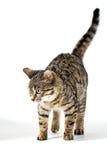 Chat tigré faisant un pas tranquillement sur l'étage Photographie stock libre de droits