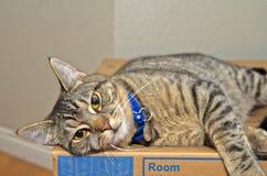 Chat tigré gris détendant sur la boîte en carton Photos libres de droits