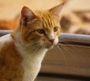 Chat tigré jaune Photo stock