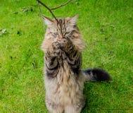 Chat tigré jouant dehors Images libres de droits