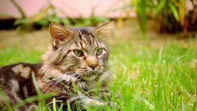 Chat tigré noir de Maine Coon avec l'oeil vert se trouvant dessus banque de vidéos