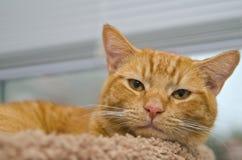 Chat tigré orange avec le nez rose s'étendant sur le lit Photographie stock