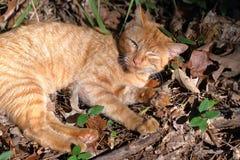 Chat tigré orange détendant avec un oeil fermé en bois naturels images libres de droits