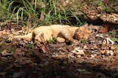 Chat tigré orange s'étendant en bois naturels photos stock