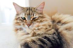 Chat tigré pelucheux aux cheveux longs Photo stock