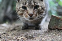 Chat tigré rayé regardant près de Photographie stock