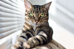 Chat tigré sur l'entraîneur Photos libres de droits