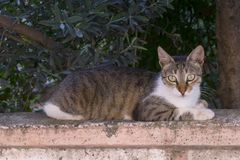 Chat tigré sur la barrière concrète photos stock
