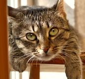 Chat - TIGRE Images libres de droits