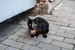 Chat tricolore Image libre de droits