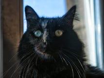 chat velu noir Photo stock