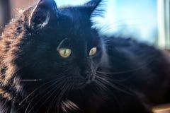 chat velu noir Image stock