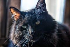 chat velu noir Photographie stock libre de droits