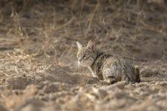 Chat vigilant de désert au parc national de désert près de Jaisalmer Images libres de droits