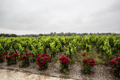 Chateau Clos d'estournel vineyard,saint Estephe, right bank,Bordeaux, France Royalty Free Stock Photography
