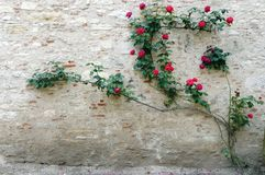 Chateau stone wall rose climber. A photograph showing the rough wall of an old stone chateau with some beautiful deep red flower rose plant climbing on it. In stock photo