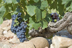 chateauneuf du France winogron pape Obrazy Royalty Free