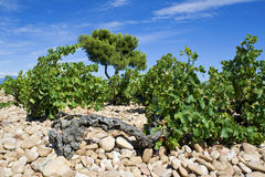Chateauneuf-du-, vineyard. Stock Photo