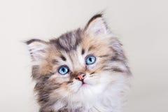 Chaton à cheveux longs mignon avec des yeux bleus Images stock