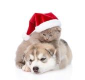 Chaton écossais et chiot de chien de traîneau sibérien avec le chapeau de Santa D'isolement Photo stock