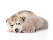 Chaton écossais et chiot de chien de traîneau sibérien dormant ensemble D'isolement Photo stock