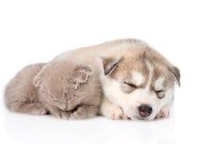 Chaton écossais et chiot de chien de traîneau sibérien dormant ensemble D'isolement Photos libres de droits
