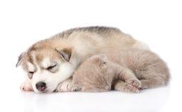Chaton écossais et chiot de chien de traîneau sibérien dormant ensemble D'isolement Images stock