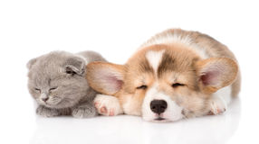 Chaton écossais et chiot de chien de traîneau sibérien dormant ensemble D'isolement Images libres de droits