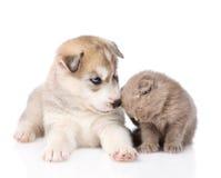 Chaton écossais et chiot de chien de traîneau sibérien ensemble D'isolement Photographie stock libre de droits