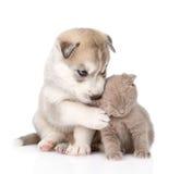 Chaton écossais et chiot de chien de traîneau sibérien ensemble d'isolement en fonction Images stock