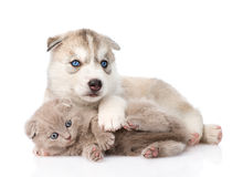 Chaton écossais et chiot de chien de traîneau sibérien jouant ensemble D'isolement Photos stock